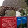 円山動物園のキリンちゃん